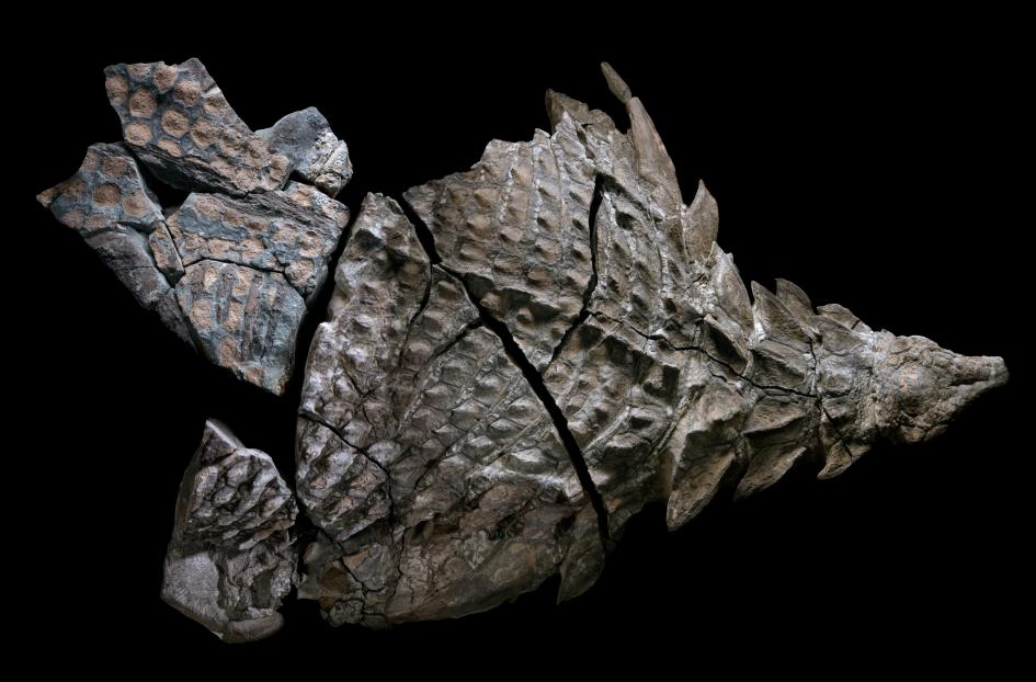 nodosaure-fossile
