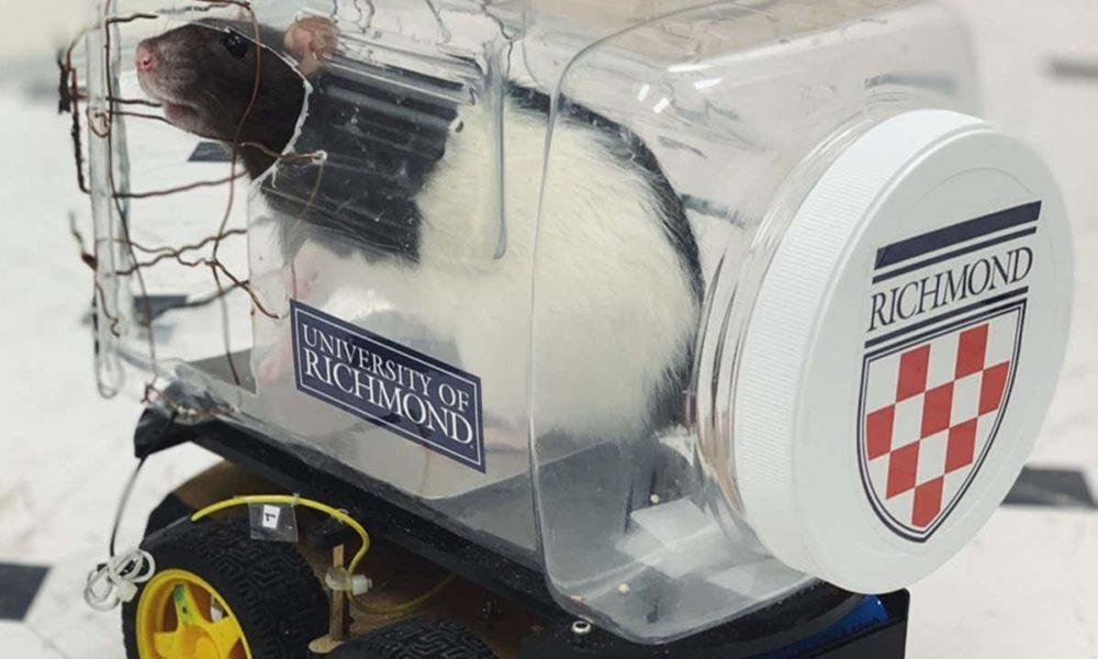 Des scientifiques entraînent des rats à conduire et à collecter de la nourriture