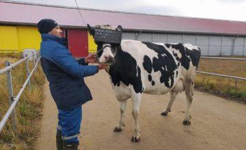 Russie : des vaches équipées de casques VR pour augmenter leur production de lait